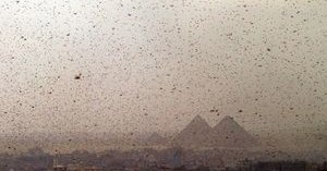 With Passover Approaching, a Plague of Locusts Descends Upon Egypt