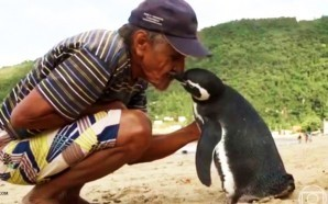 penguin-jinjin-swims-5000-miles-every-year-to-visit-man-who-saved-him-from-oil-slick-joao-pereira-de-souza-brazil-nteb