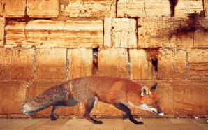 FOXES SEEN WALKING NEAR THE WESTERN WALL, FULFILLING BIBLICAL PROMISE