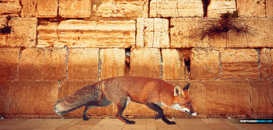 FOXES SEEN WALKING NEAR THE WESTERN WALL, FULFILLING BIBLICAL PROMISE