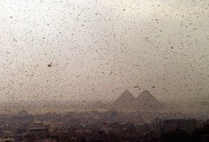 as-passover-2013-approaches-egypt-hit-by-plague-of-locusts